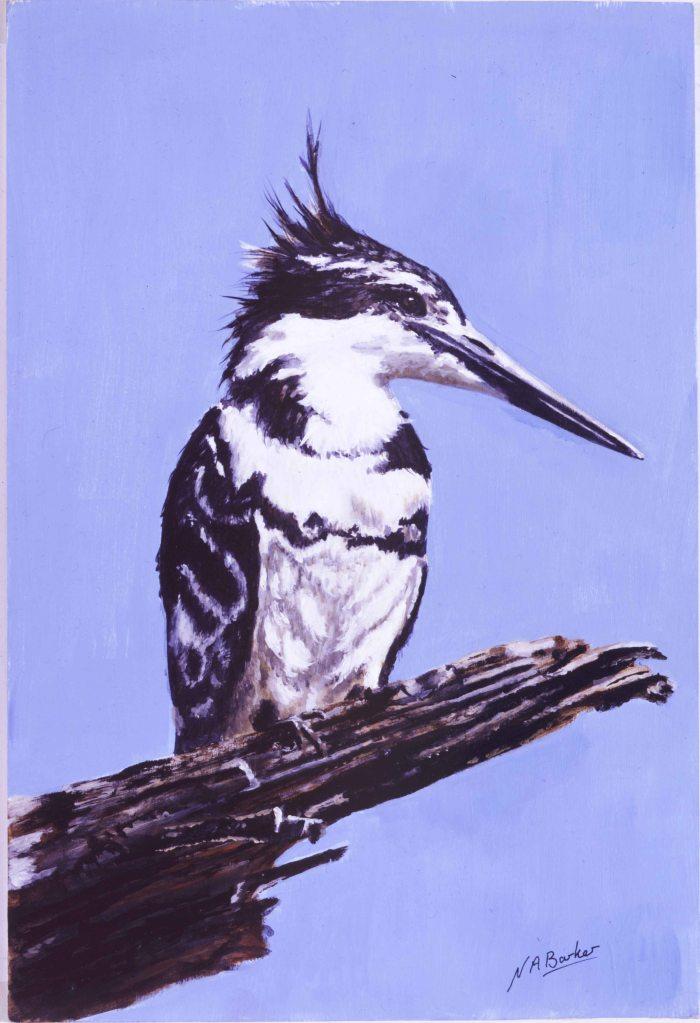 Pied Kingfisher - Acrylics - Framed Origianl - £150