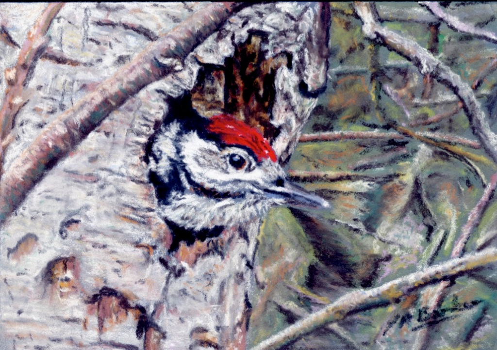 Great Spotted Woodpecker Chick - Pastel on Ampersand board - £175